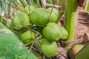 Malasian Green